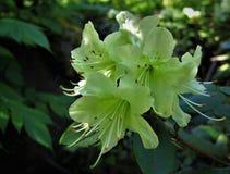rododendro Fiori bianchi immagini stock libere da diritti