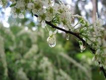 rododendro Fiori bianchi Fotografia Stock Libera da Diritti