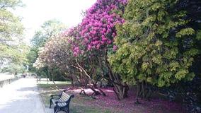 Rododendro in fioritura fotografie stock libere da diritti