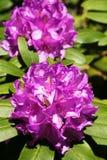 Rododendro in fioritura Immagini Stock