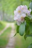 Rododendro in fioritura Fotografia Stock Libera da Diritti