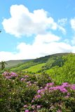 rododendro in fioritura dentro talybont--Usk sulla valle Fotografia Stock