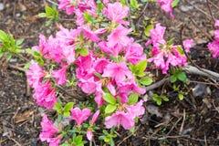 Rododendro floreciente Imagen de archivo libre de regalías