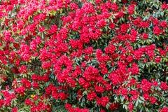 Rododendro floreciente Bush Foto de archivo