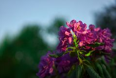 Rododendro floreciente púrpura en el jardín Fotos de archivo libres de regalías