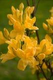 Rododendro giallo - azalea Fotografia Stock
