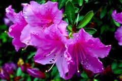 Rododendro indica Ericaceae imágenes de archivo libres de regalías