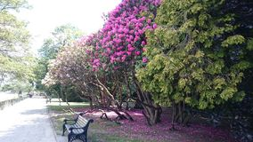 Rododendro na flor fotos de stock royalty free