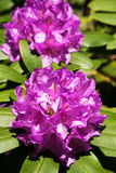 Rododendro na flor Imagens de Stock