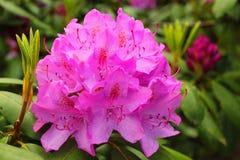 Rododendro nel giardino Fotografia Stock