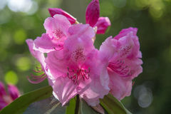Rododendro púrpura Fotos de archivo libres de regalías