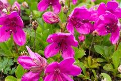 Rododendro púrpura de Kamchatka de la planta de la flor Imágenes de archivo libres de regalías
