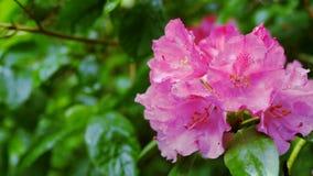 Rododendro porpora del fiore Il movimento della macchina fotografica permette di vedere il fiore da tutti i lati video d archivio