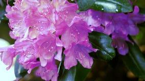 Rododendro porpora del fiore Il movimento della macchina fotografica permette di vedere il fiore da tutti i lati archivi video