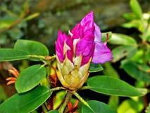 Rododendro pronto para florescer imagens de stock