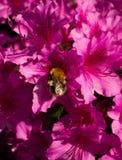 Rododendro que visita de la abeja común de la carda mechera Foto de archivo