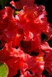 rododendro riccio Fotografia Stock Libera da Diritti