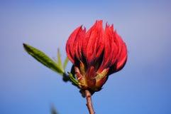 Rododendro rojo. Foto de archivo libre de regalías
