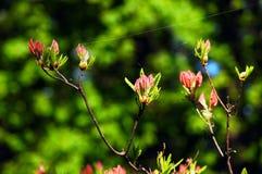 Rododendro rojo. Fotografía de archivo