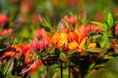 rododendro Rojo-anaranjado. Fotos de archivo