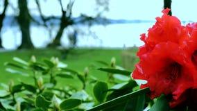 Rododendro rojo en el primero plano En el fondo, la vista del parque se abre