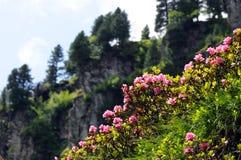 Rododendro rosa in alpi europee Tirol Austria Immagini Stock