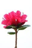 Rododendro rosa con le gocce di rugiada Immagini Stock Libere da Diritti
