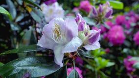 Rododendro rosa del fiore video d archivio
