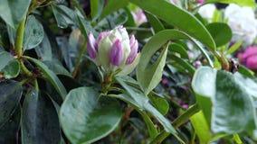 Rododendro rosa del fiore archivi video