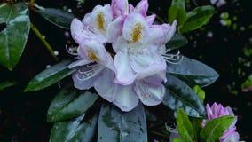 Rododendro rosa del fiore stock footage