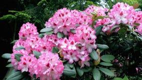 Rododendro rosa del fiore Il movimento della macchina fotografica permette di vedere il fiore da tutti i lati del fiore video d archivio