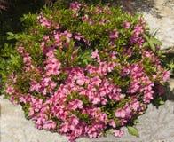 Rododendro rosado Fotografía de archivo