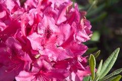 Rododendro rosado Imagenes de archivo