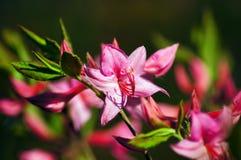 Rododendro rosado. Foto de archivo