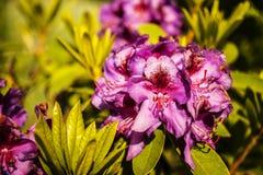 Rododendro rosado Foto de archivo libre de regalías