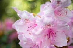 Rododendro rosado Imágenes de archivo libres de regalías