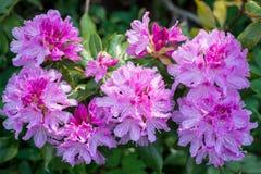 Rododendro rosado de la flor imagen de archivo libre de regalías