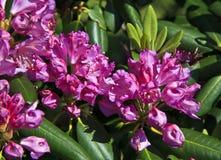 Rododendro rosado en la primavera Fotografía de archivo libre de regalías