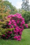 Rododendro rosado que se coloca en jardín Foto de archivo