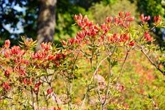 Rododendro rosso. Immagini Stock