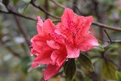 Rododendro rosso Fotografia Stock Libera da Diritti