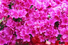 Rododendro rosso e dentellare Fotografie Stock Libere da Diritti