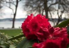 Rododendro rosso nella priorità alta Nei precedenti, la vista del parco si apre Fotografie Stock Libere da Diritti