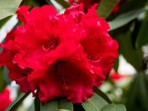 Rododendro rosso nella priorità alta Nei precedenti, la vista del parco si apre Fotografie Stock