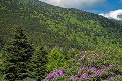 Rododendro roxo que floresce em Grayson Highlands State Park foto de stock royalty free