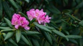 Rododendro Shangri-La Yunnan, dian imagem de stock