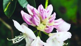 Rododendro unblown rosa del fiore La macchina fotografica si spost indietroare sul cursore Correzione di colore archivi video