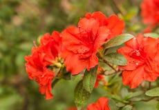 Rododendro vermelho Appolo da azálea Foto de Stock