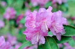 Rododendro viola fotografie stock libere da diritti