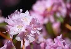 Rododendro violeta Fotos de archivo